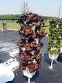 Vertical Hydroponics Lettuce.jpg