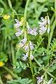 Vicia sylvatica in Morzine (1).jpg