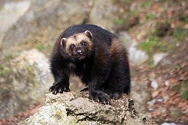 Vielfraß (Gulo gulo) Zoo Salzburg 2014 e.jpg