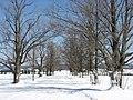 """Vieux Érables bordant le chemin """"Galbraith"""" (à la fin de l'hiver) - panoramio.jpg"""