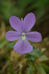 Viola cornuta.jpeg