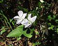 Viola jordanii 19042004.JPG
