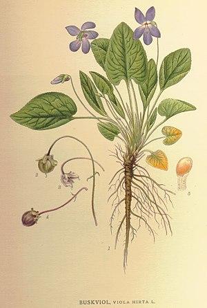 Viola hirta - Image: Violahirta