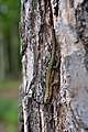 Viviparous Lizard (Zootoca vivipara).jpg