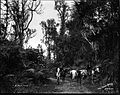 Volcano Road, Hilo (2), photograph by Brother Bertram.jpg