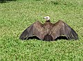 Vulture who spread his wings Gambia to dry.jpg