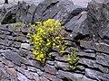 Wall Pepper (Sedum acre) - geograph.org.uk - 858263.jpg