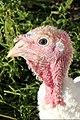 Walla Turkey 06.jpg