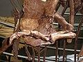 Wankel Tyrannosaurus cast left forearm UCMP.JPG