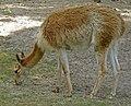 Warszawa Zoo wikunia.JPG