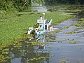 Water Chestnut Mechanical Harvesting in 2011 (7557352226).jpg