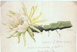 Weberocereus glaber1b