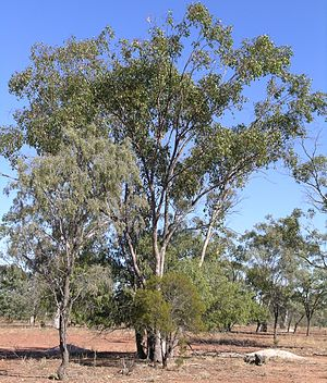 Walgett, New South Wales - Trees that are common in the Walgett district: Eucalyptus (bimble box), Geijera (wilga), sandalwood and Acacia (ironwood)