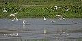 Whiskered Tern (Chlidonias hybridus) hunting in Kolleru, AP W IMG 4016.jpg