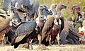 White-backed Vulture with a flock of vulture.jpg