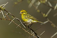 White-bellied Canary - Samburu - Kenya S4E5349 (22621674067).jpg