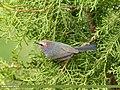 White-browed Tit Warbler (Leptopoecile sophiae) (43045129502).jpg