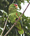 White-fronted Amazon JCB.jpg