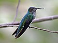 White-necked Jacobin female RWD2.jpg