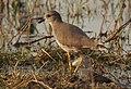 White-tailed Lapwing Vanellus leucurus by Dr. Raju Kasambe DSCN7098 (1).jpg