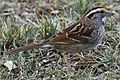 White-throated Sparrow - Zonotrichia albicollis, Black Hills Regional Park, Boyds, Maryland.jpg