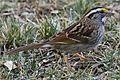 White-throated Sparrow - Zonotrichia albicollis, Black Hills Regional Park, Boyds, Maryland.jpg