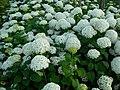 White flowers 2007.JPG