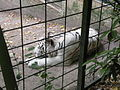 White tigers in ZooParc de Beauval 8.JPG