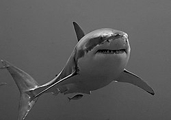 Basic Info The Great White Shark is Found in costal waters of almost...