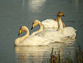 Whooper Swans at Big Waters.jpg