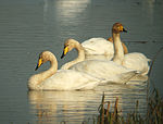 Whooper Swans at Big Waters.jpg