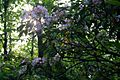 Wild-Kalmia latifolia-Sun - West Virginia - ForestWander.jpg