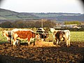 Winter cows - geograph.org.uk - 403074.jpg