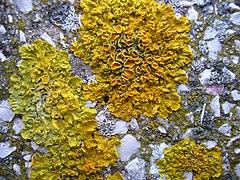 Xanthoria parietina.001 - A Coruña.jpg
