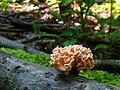 Xylocoremium flabelliforme 54075.jpg