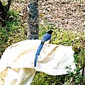 Yellow-billed blue magpie-4 Kandbari, Himachal Pradesh by Avyakta.jpg
