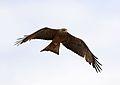 Yellow-billed kite, Milvus aegyptius, at Elephant Sands Lodge, Botswana (32099559472).jpg