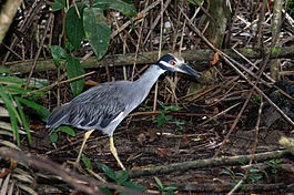 Yellow-crowned Night-heron1.jpg