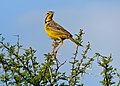 Yellow-throated Longclaw (Macronyx croceus) (11484860353).jpg
