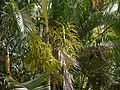Yellow Palm (4631432316).jpg