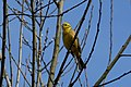 Yellowhammer (148227503).jpeg