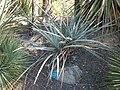 Yucca baccata JOT.jpg