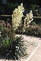 Yucca flaccida HRM2.jpg