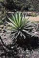 Yucca treculeana in Cactus Parc in Bessan003.JPG