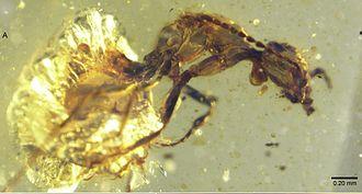 Sphecomyrminae - Zigrasimecia tonsora