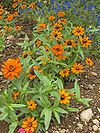 Zinnia angustifolia Profusion Orange