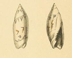 Zoological Illustrations Olivella eburnea.jpg