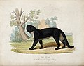 Zoological Society of London; a puma. Coloured etching. Wellcome V0023115.jpg