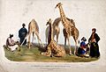 Zoological Society of London; three giraffes surrounded by m Wellcome V0023159.jpg