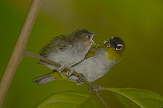 Black-crowned white-eye - Image: Zosterops atrifrons (4)